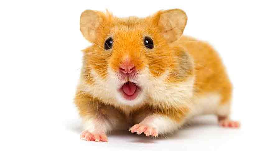 hamster, goxx